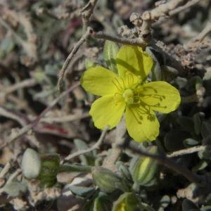Kanarisches Sonnenroeschen Bluete gelb Helianthemum canariense 03