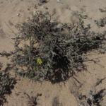 Kanarisches Sonnenroeschen Bluete gelb Helianthemum canariense 04