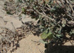 Kanarisches Sonnenroeschen Bluete gelb Helianthemum canariense 05