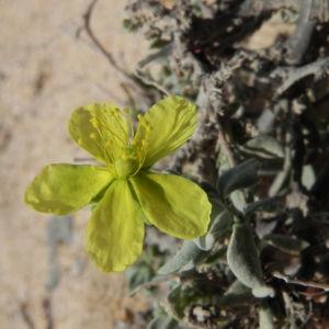 Kanarisches Sonnenroeschen Bluete gelb Helianthemum canariense 06