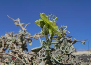 Kanarisches Sonnenroeschen Bluete gelb Helianthemum canariense 09