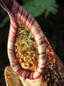 Kannenstrauch Becher Nepenthes x Mizuho 01