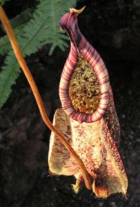 Kannenstrauch Becher Nepenthes x Mizuho 02