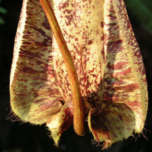 Kannenstrauch Becher Nepenthes x Mizuho 03