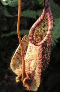 Kannenstrauch Becher Nepenthes x Mizuho 04