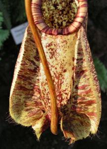 Bild: Kannenstrauch Becher Nepenthes x Mizuho