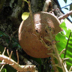 Kanonenkugel Baum Cannonball Tree Frucht braun Couroupita guianensis 01