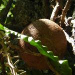 Kanonenkugel Baum Cannonball Tree Frucht braun Couroupita guianensis 02