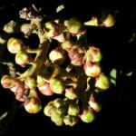 Kanonenkugel Baum Cannonball Tree Knospe rot Couroupita guianensis 04