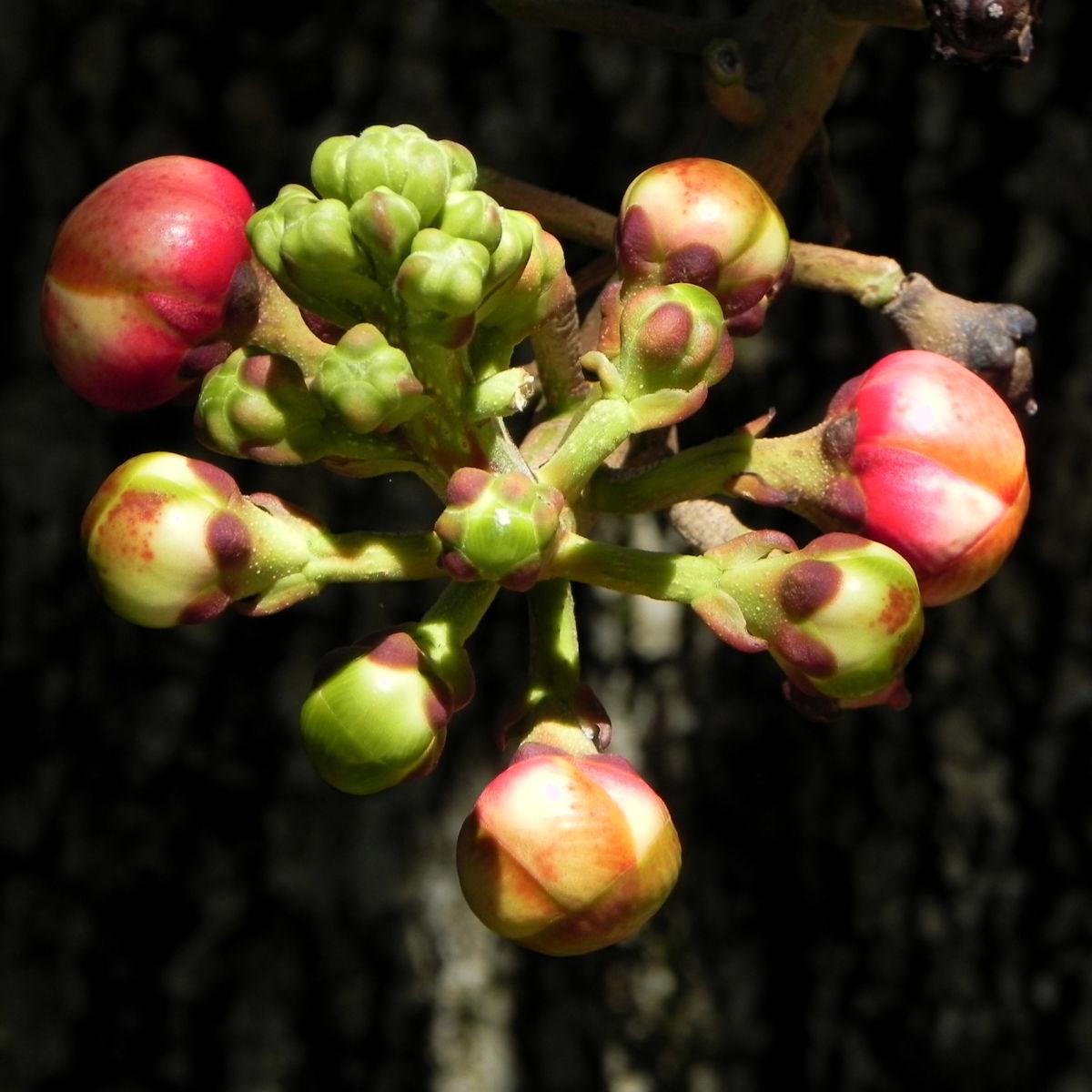 Kanonenkugel Baum Cannonball Tree Knospe rot Couroupita guianensis