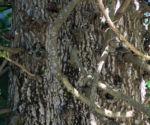 Kanonenkugel Baum Cannonball Tree Rinde grau Couroupita guianensis 03
