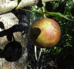 Kanonenkugelbaum Frucht braun Couroupita guianensis 01