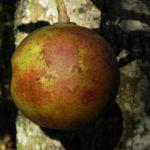 Kanonenkugelbaum Frucht braun Couroupita guianensis 02
