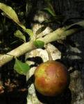 Kanonenkugelbaum Frucht braun Couroupita guianensis 03