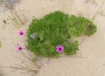 Kapkoerbchen Blute lila Osteospermum barberae 05