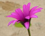 Bild: Kapkörbchen Blüte lila Osteospermum barberae