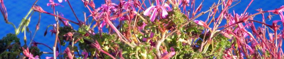 Anklicken um das ganze Bild zu sehen Kapland Pelargonie Blüte pink Pelargonium reniforme
