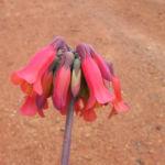 Kaplilie Bluete orange rot Veltheimia bracteata 07
