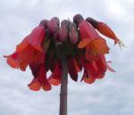 Kaplilie Bluete orange rot Veltheimia bracteata 09