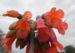 Zurück zum kompletten Bilderset Kaplilie Blüte orange rot Veltheimia bracteata