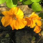 Kapuziner Kresse Blueten orange Tropaeolum majus 01