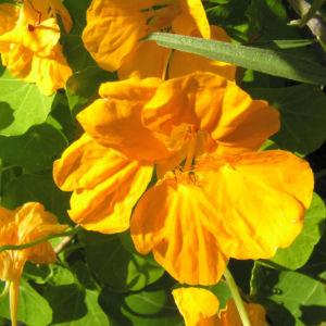Kapuziner Kresse Blueten orange Tropaeolum majus 02