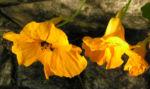 Kapuziner Kresse Blueten orange Tropaeolum majus 04