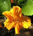 Kapuziner Kresse Blueten orange Tropaeolum majus 05
