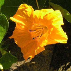 Kapuziner Kresse Blueten orange Tropaeolum majus 06
