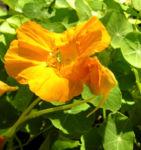 Kapuziner Kresse Blueten orange Tropaeolum majus 08