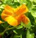 Zurück zum kompletten Bilderset Große Kapuzinerkresse Blüte orange Tropaeolum majus