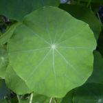 Kapuzinerkresse Blatt Bluete Tropaeolum majus 03