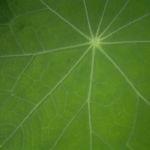 Kapuzinerkresse Blatt Bluete Tropaeolum majus 04