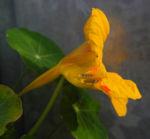Kapuzinerkresse Bluete gelb rot Tropaeolum majus 19