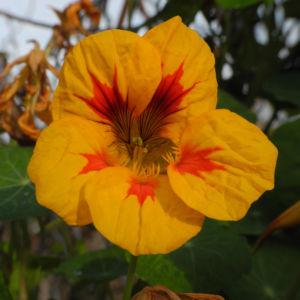 Kapuzinerkresse Bluete gelb rot Tropaeolum majus 21