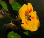 Kapuzinerkresse Bluete gelb rot Tropaeolum majus 24