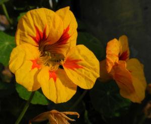 Image: Kapuzinerkresse Bluete gelb rot Tropaeolum majus
