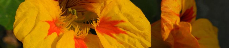 Anklicken um das ganze Bild zu sehen Kapuzinerkresse Blüte gelb rot Tropaeolum majus