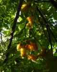 Karambole Karambola Sternfrucht gelb Averrhoa carambola 01
