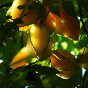 Karambole Karambola Sternfrucht gelb Averrhoa carambola 02