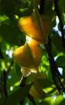 Karambole Karambola Sternfrucht gelb Averrhoa carambola 03