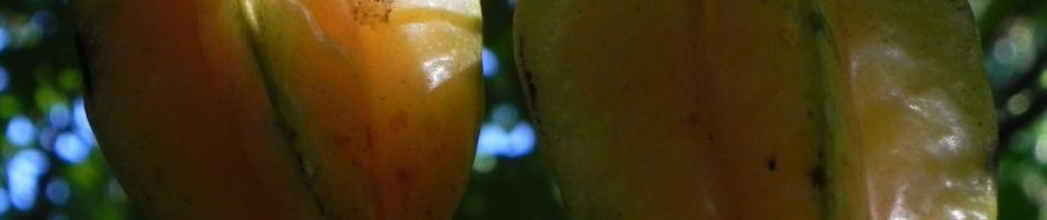sternfrucht-karambole-rinde-grau-averrhoa-carambola