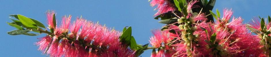 Anklicken um das ganze Bild zu sehen Karminroter Zylinderputzer Blüte rot Callistemon citrinus