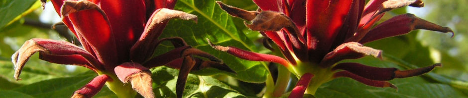 karolina-nelkenpfeffer-bluete-roetlich-calycanthus-floridus