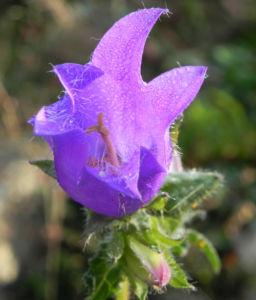 Karpaten Glockenblume Bluete lila Campanula carpatica 01