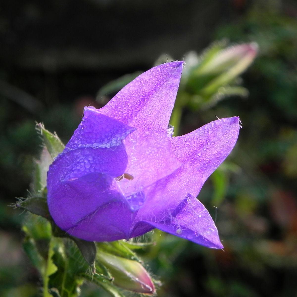 Karpaten Glockenblume Bluete lila Campanula carpatica