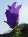 Zurück zum kompletten Bilderset Karpaten-Glockenblume Blüte lila Campanula carpatica