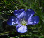 Karpaten Lein Bluete blau Linum extraaxillare 01