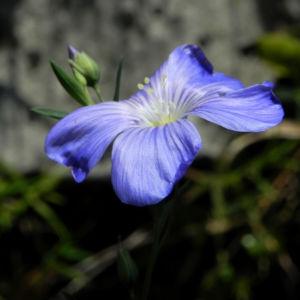 Karpaten Lein Bluete blau Linum extraaxillare 04