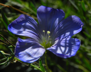 Karpaten Lein Bluete blau Linum extraaxillare 09